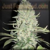 female seeds x-line widow x bigbud Potent Indica cannabis Strain